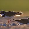 Sieweczka rzeczna. Para ptaków przy gnieździe. <br /> ©Paweł Pawlak - fotografia przyrodnicza
