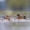 Para Świstunów żerujących na płytkich rozlewiskach Odry.<br /> ©Paweł Pawlak - Fotografia przyrodnicza