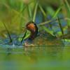 Zausznik (Podiceps nigricollis) -dorosły ptak z potomstwem, skrywający się w roślinnosci wodnej.<br /> © Paweł Pawlak - fotografia przyrodnicza