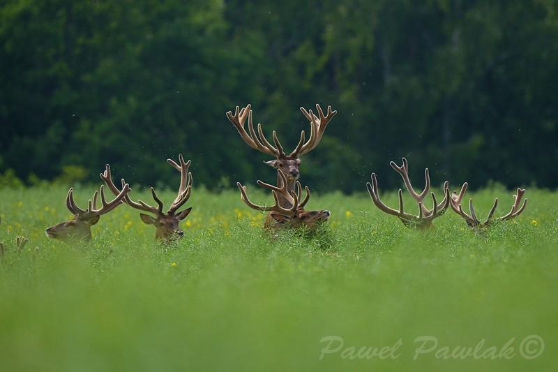 Byki jelenia odpoczywające w czerwcowym rzepaku<br /> Zdjęcie finałowe  Konkursu Fotograficznego im. Włodzimierza Puchalskiego eksponowane na wystawie pokonkursowej w 2014