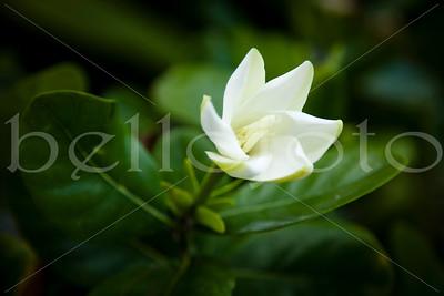 """""""Gardenia"""" - Kauai"""