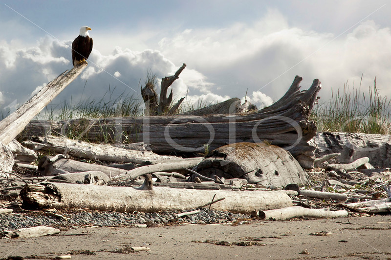 """Eagle Perch"" - The Dungeness Spit, Washington"