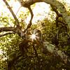 """""""Sycamore Sunstar"""" - San Luis Obispo, California"""