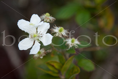 """White Wild Rose"" - Kauai"
