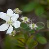 """""""White Wild Rose"""" - Kauai"""