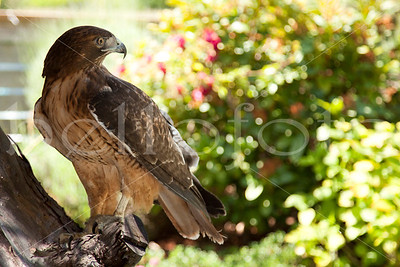"""Red Tailed Hawk"""