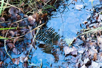 """""""Fern Reflection"""" - Pacific Northwest, Washington"""