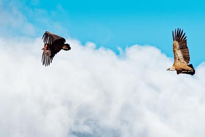 Buitres volando cerca de Jadraque, España.