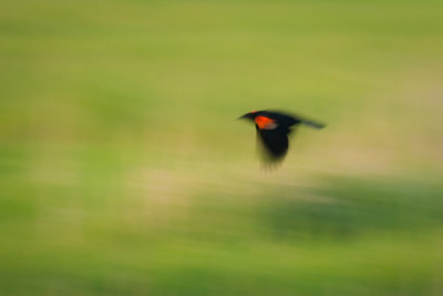 Redwinged Black Bird in Flight