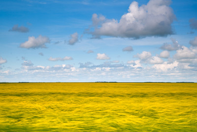 Canola Field in Motion