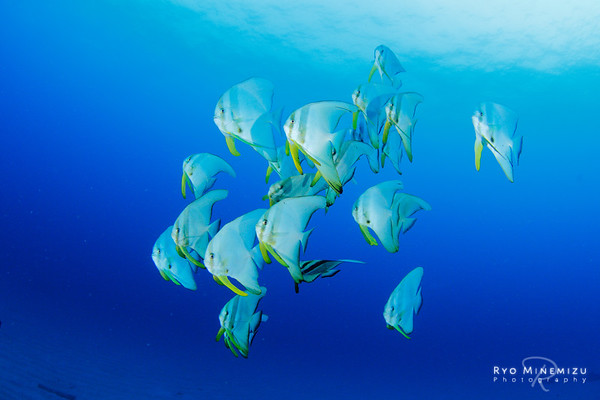 School of the Tiera batfish