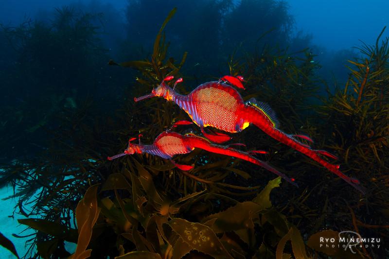 Weedy sea-dragon