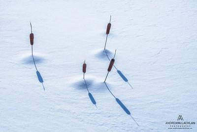 Cattails in Winter, Muskoka, Ontario, Canada