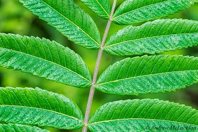 Staghorn Sumac Leaf