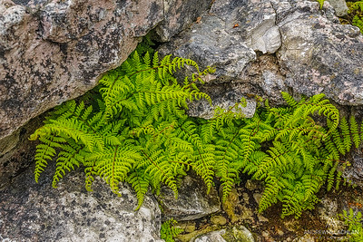 Ferns and granite, Bruce Peninsula National Park, Ontario, Canada