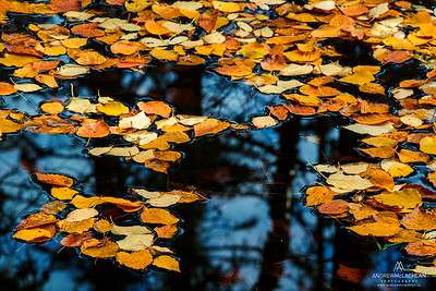 Autumn Birch Leaves in Pond, Ontario, Canada