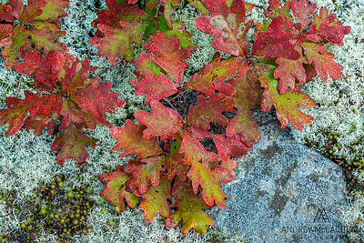Red Oak Leaves and lichen in the Torrance Barrens, Ontario, Canada