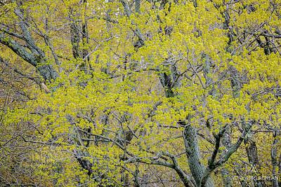Spring Trees, Tobermory, Ontario, Canada