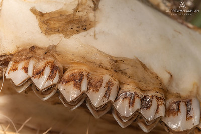 White-tailed Deer (Odocoileus virginianus) teeth from skeletal remains of a buck, Barrie, Ontario, Canada