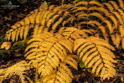 Autumn Ferns, Muskoka, Ontario, Canada