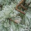 Pine Tree and Ice