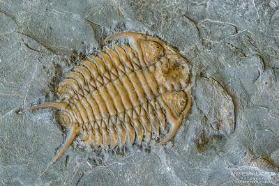 Trilobite, Ontario, Canada