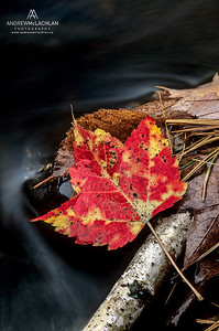 Autumn Maple Leaf and Stream, Musoka, Ontario, Canada