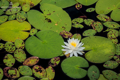 Water Lilies, Horseshoe Lake, Muskoka, Ontario, Canada