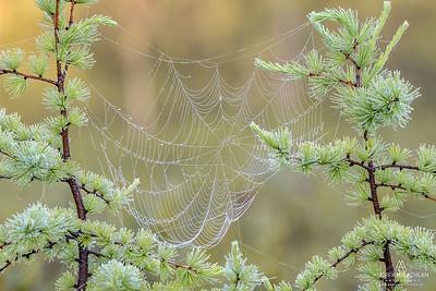 Dewy Spider Web and Tamarack Trees, Muskoka, Ontario, Canada