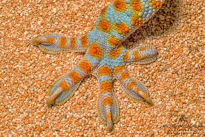 Tokay Gecko (Gekko gekko) - captive bred
