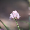 Chives in Pink