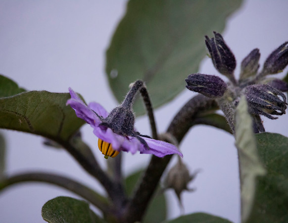 First Eggplant Flower