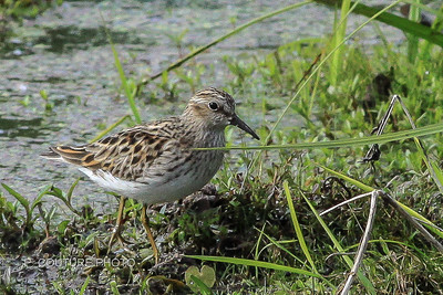 Least Sandpiper (I think)