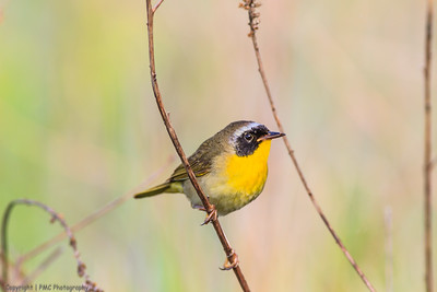 Common Yellow-throat (warbler)