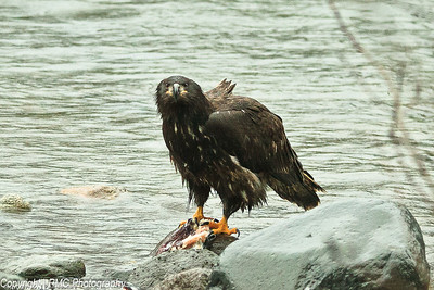 Bald Eagle, Juvenile