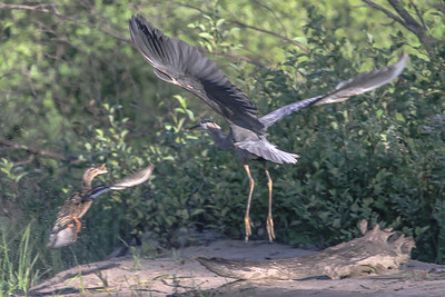 Mallard attacks a Great Blue Heron