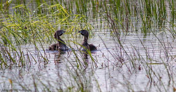 Pie-Billed Grebes