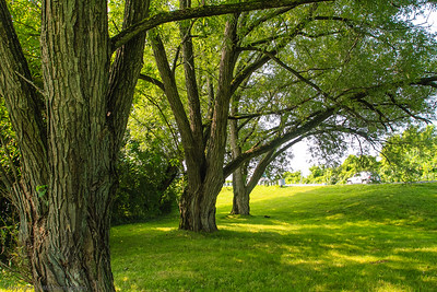 Black Willows