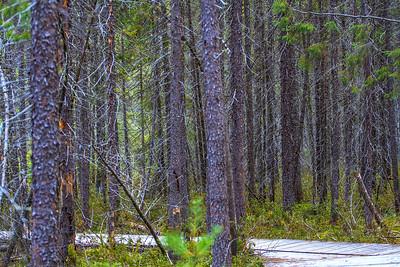 Black Spruce, Algonquin Park