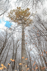 Large-toothed Aspen