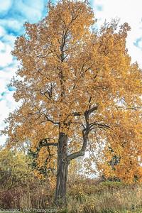 Shag-bark Hickory