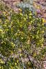 Creosote bush aka: Greasewood (Larrea tridentata)