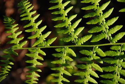 New Ferns