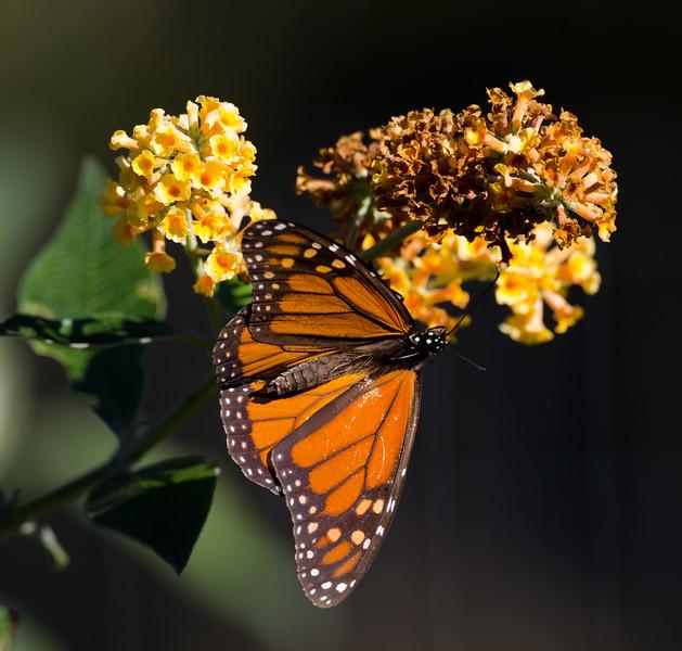 Monterey Monarchs