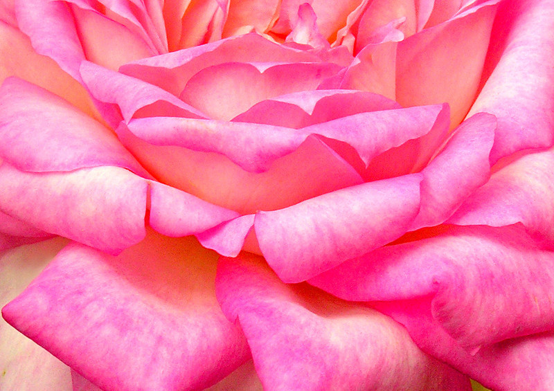 Unfolding  Petals of Passionate Pink