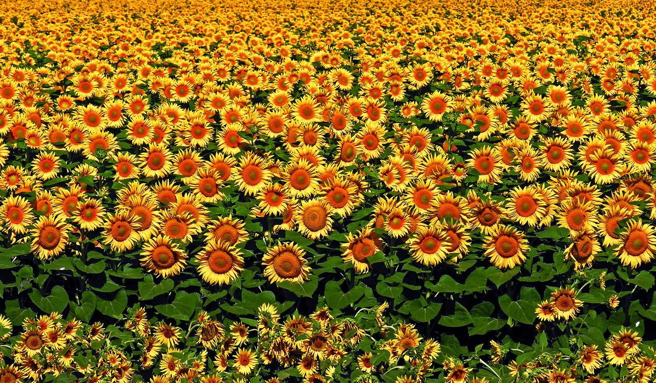 Sunflower Horizon