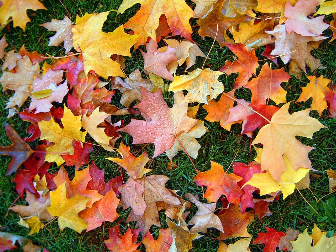 Alta Sierra Autumn Leaves