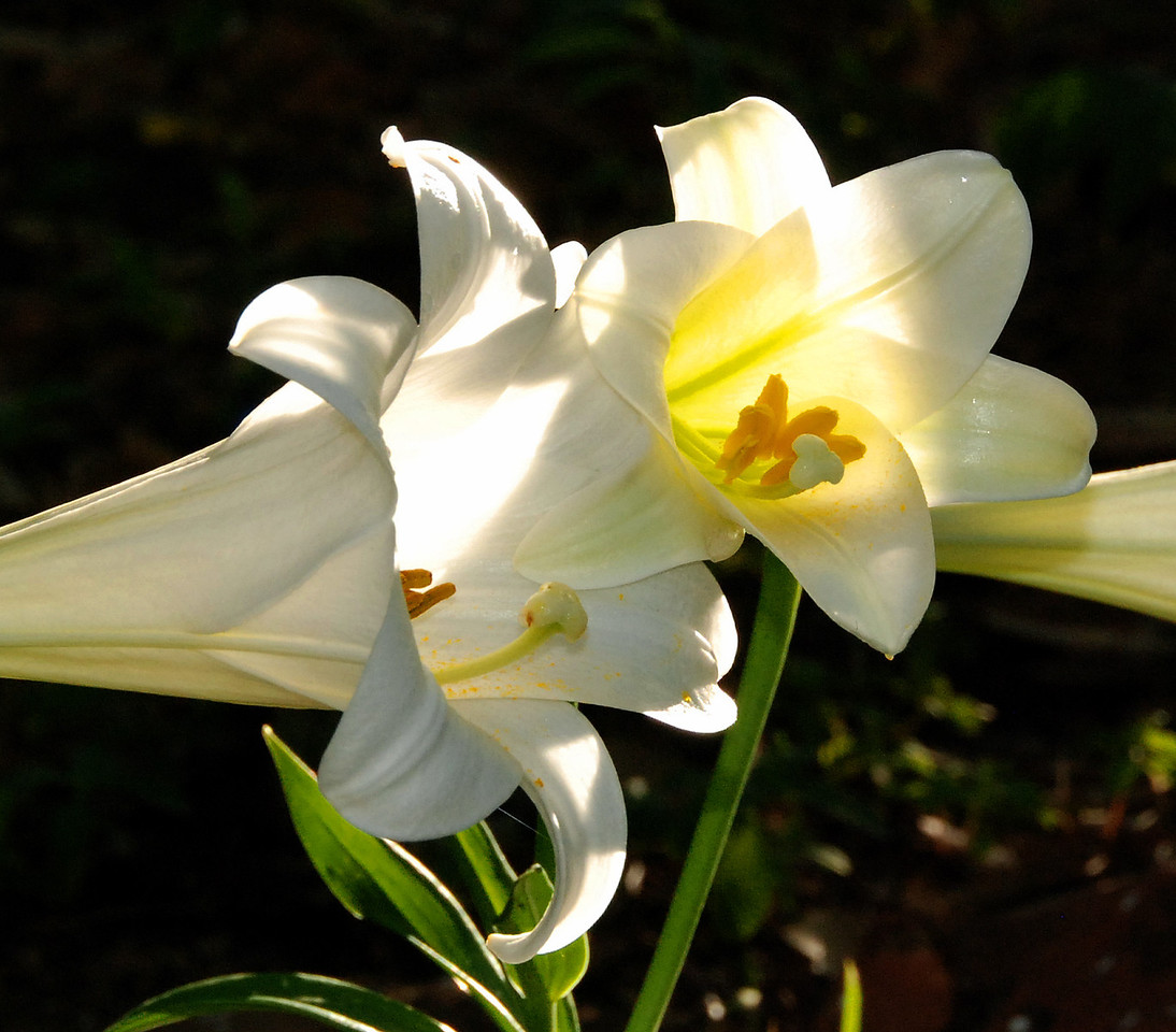Easter Lily Illuminate