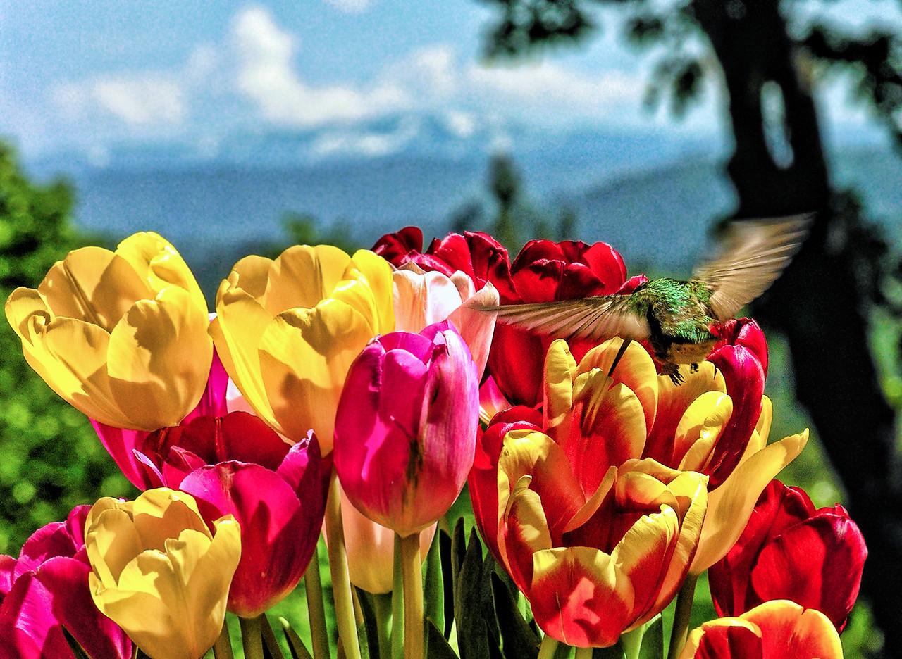 Anna on Tulips