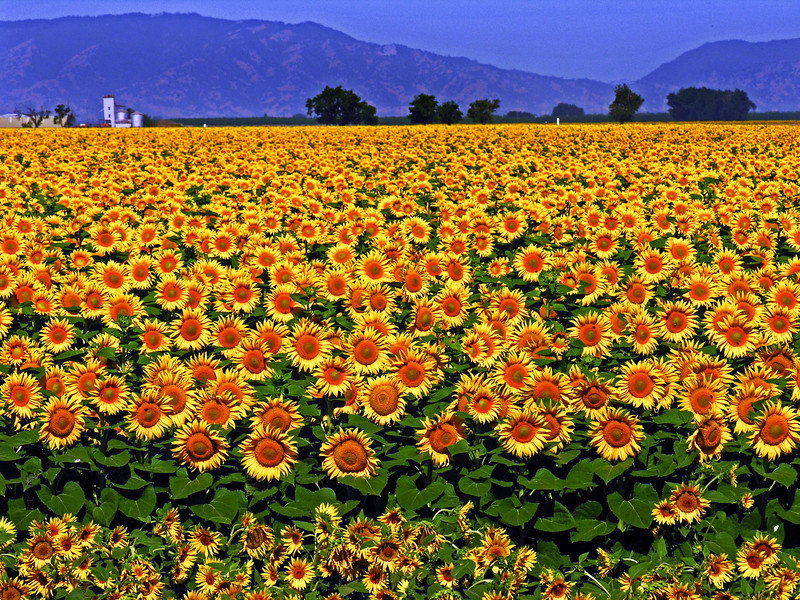 Sunflower Sea - Davis, CA